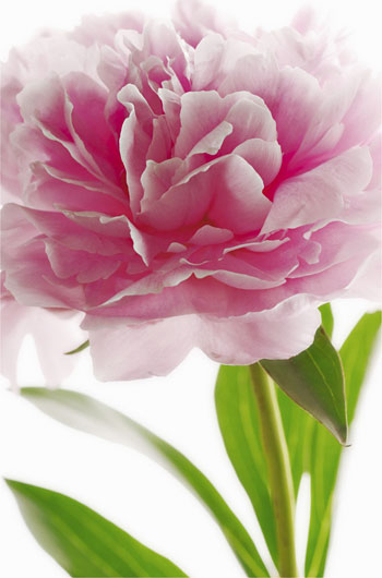 Photomural - Pink Peony