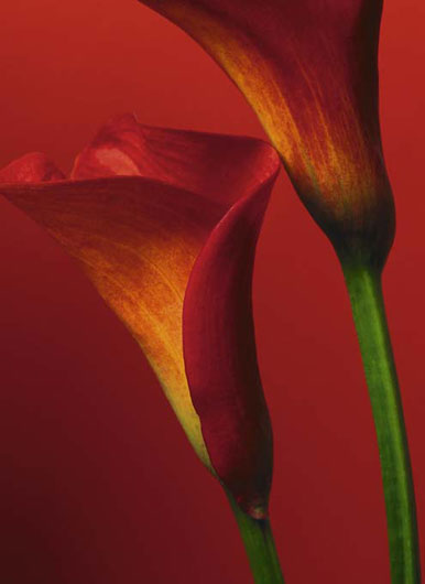 Photomural - Red Calla Lilies