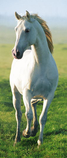 Photomural - White Horse